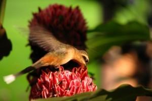 Hummingbird by Christian Meyn, www.freedigitalphotos.net