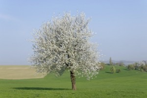 Tree In Blossom by dan, www.freedigitalphotos.net