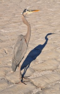 Bird And Shadow by Bill Longshaw, www.freedigitalphotos.net
