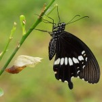 Papilionidae Butterfly by wiangya