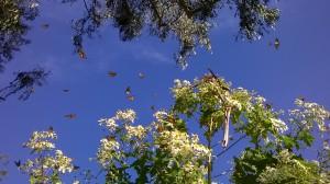 Monarch Butterflies in Esalen